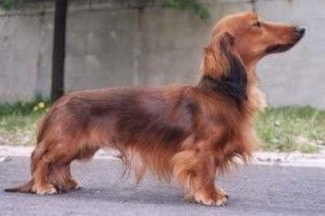 perro teckel pelo largo