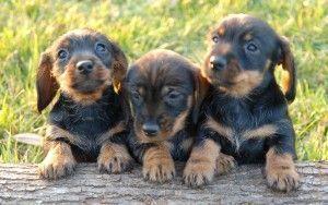 teckel pelo duro bebe cachorro