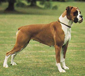 Resultado de imagen de Boxer