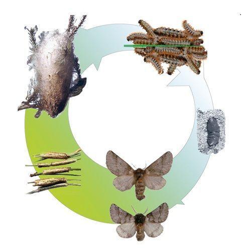 Resultado de imagen de procesionaria del pino perros  ciclo biologico