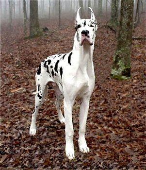 Raza: Dogo Alemán, Gran Danés, Alano | Perros